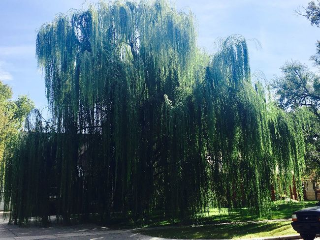 This is natural beauty. While out at an estate sale, this willow tree just wowed so many. First Eyeem Photo