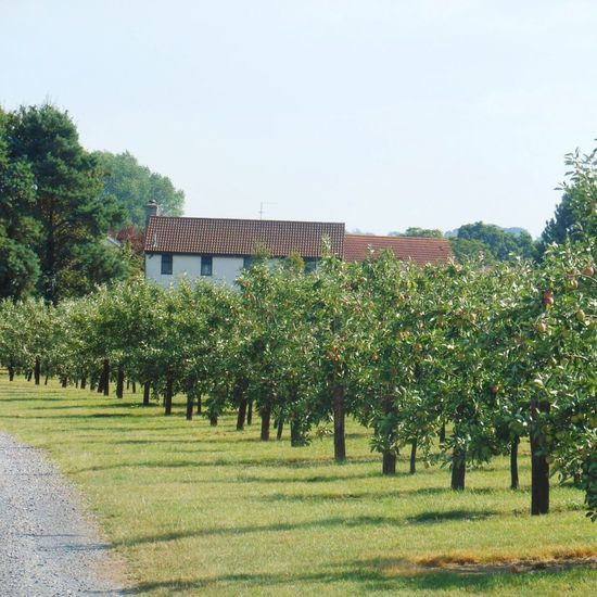 Cider Orchard Orchard Apples Apple Orchard Old Railway Line Strawberry Line Somerset Walking Countryside