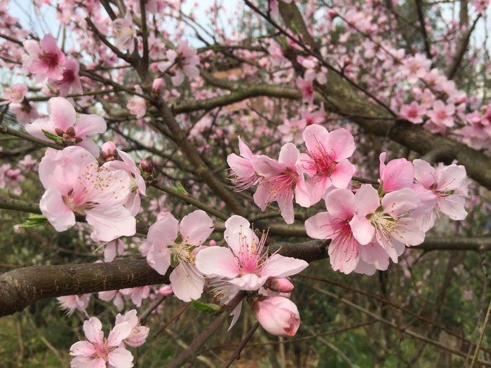 人面不知何处去,桃花依旧笑春风。 Flower Pink Color Cherry Blossom Fragility Blossom Beauty In Nature Springtime