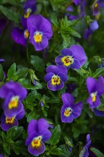 Purple pansies blooming in park