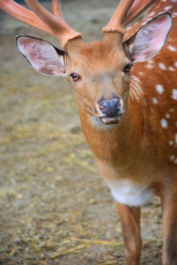 Portrait of deer standing outdoors