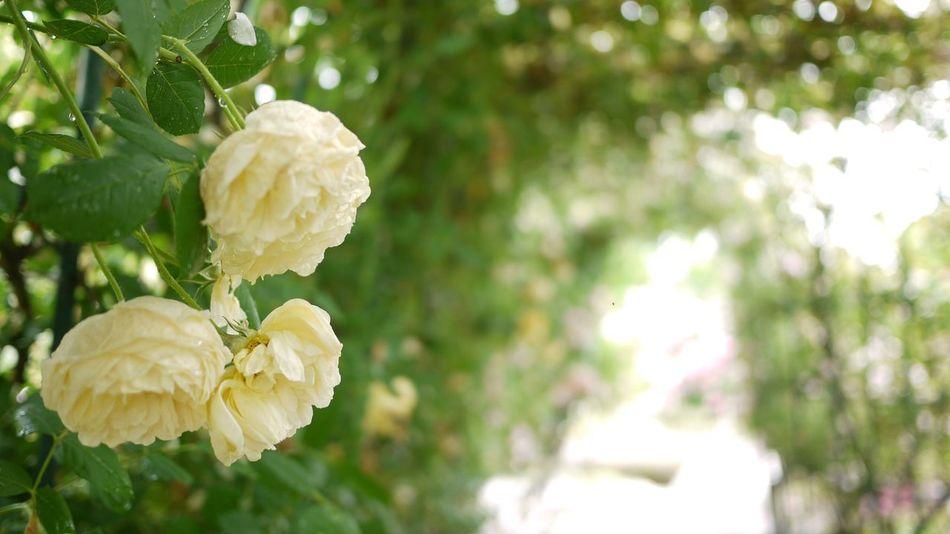 日出町 大分県 Rosé Flower