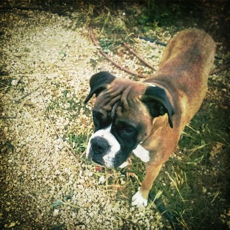 Dog Animal Mountain Boxer Campo Montana Islas Canarias Perro Gregory