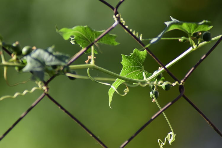 Barbed Wire Beauty In Nature Close-up Day Fence Post Focus On Foreground Fragility Freshness Green Color Growth Leaf Nature Plant Whire