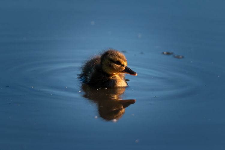 Close-up of duckling swimming in lake during sunset