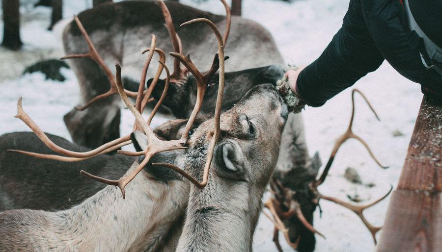 Close-up of feeding reindeers