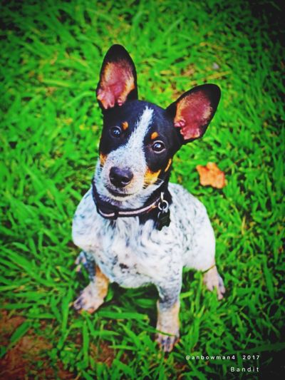 Bandit Blue Heeler Mix Jack Russell Mix Mans Best Friend Mans Best Friend❤️ Mans Best Friend♡ Dog Grass Pets Domestic Animals Animal Themes One Animal Mammal