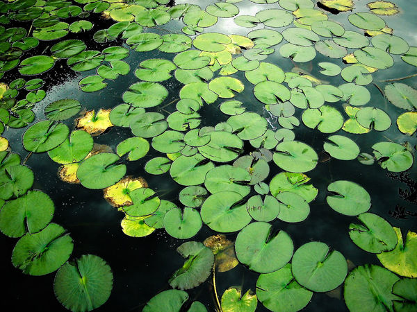 Backgrounds Beauty In Nature Day Floating Floating On Water Fragility Freshness Green Color Growth High Angle View Lake Leaf Leaves Lotus Lotus Water Lily Nature No People Outdoors Plant Tranquility Water Water Lily