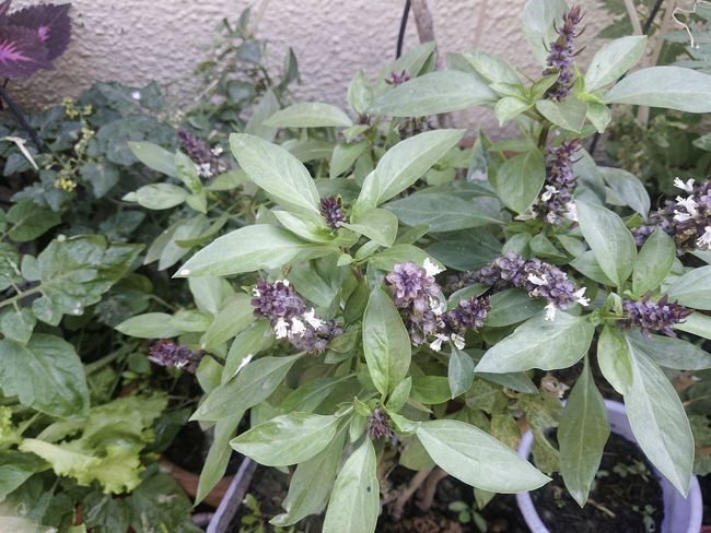 There are many different varieties of Basil - this particular one is either Thai Basil or Cinnamon Basil, they are quite similar. Both have a strong smell, although the smell coming from the plant seems to be more like Cinnamon Basil rather than Thai Basil although do not have full confidence on this. Basil Home Garden Plant Plants Thai Basil Basil Plant Beauty In Nature Close-up Day Flower Flower Head Freshness Green Color Growth Kitchen Garden Leaf Leaves Nature No People Organic Gardening Outdoors Plant