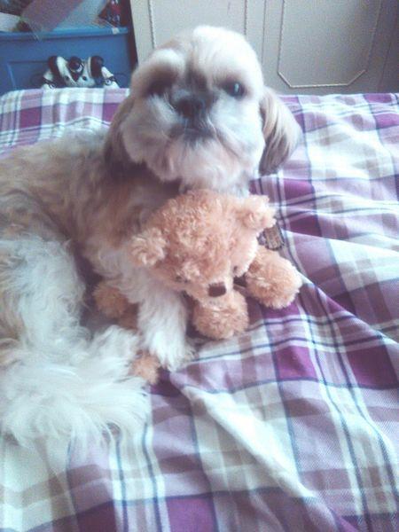 My Pooch Instadog ShiTzuForever🐶 Shitzulove Dogshitzu Relaxing Eyeemphotography EyeEm Gallery Beautiful ♥ Hi!