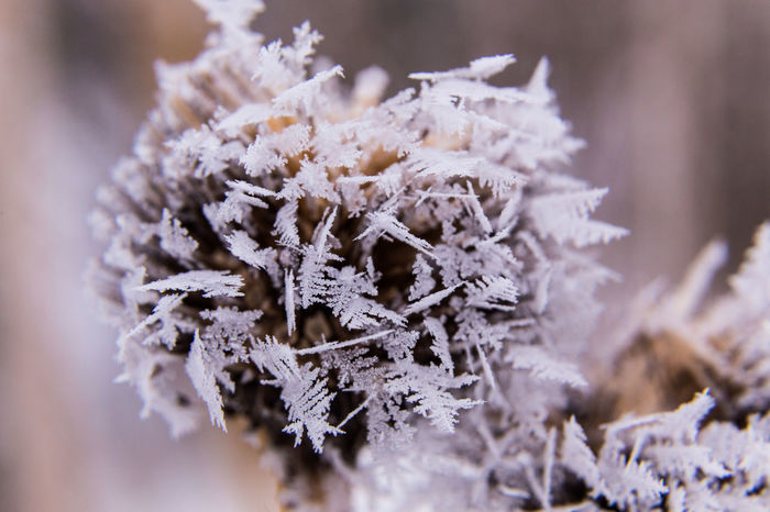Purple Coneflower in frost with beautiful ice crystals in macro view Bukeh Close-up Cold Temperature Coneflower EyeEmNewHere Flower Flower Head Frost Frost Frostwork Frosty Mornings Frozen Garden Ice Ice Age Ice Crystal Macro Nature Park Pattern Pieces Snow Snowflake Structure Winter