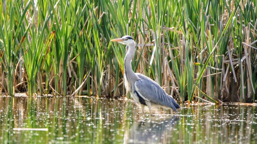 Animal Animal Themes Animal Wildlife Animals In The Wild Bird Day Grass Gray Heron Great Blue Heron Heron Lake Nature No People One Animal Outdoors Plant Reflection Vertebrate Water Water Bird