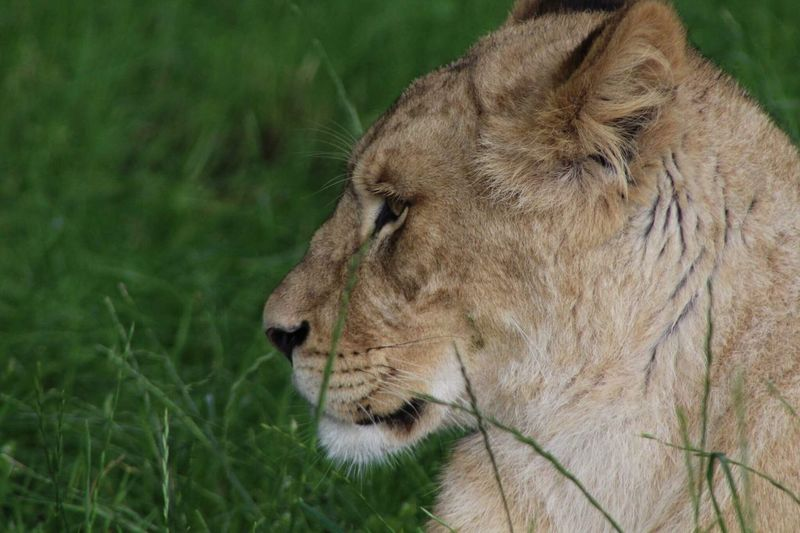 One Animal Animal Themes Animals In The Wild Mammal Wildlife Lion - Feline Animal Head  Lioness Lion Grass No People Day Close-up Outdoors Nature