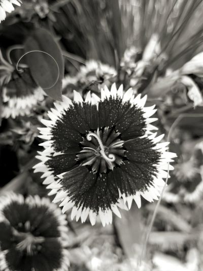 Sweet William flower. Flowers, Nature And Beauty Blossom Blooming No Filter, No Edit, Just Me Black And White Photography Fountain, Colorado Check This Out Followme Flower Collection Photoart Close Up Flower Photos Around You Monochrome Photography