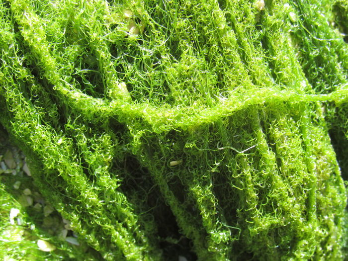 Green Sea Moss Backgrounds Barnicles Beauty In Nature Close-up Day Fragility Freshness Full Frame Green Green Color Greenery Growth Hairy  Lush Foliage Moss Nature Outdoors Overgrown Plant String Tranquil Scene Tranquility Uncultivated