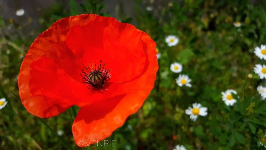 The Great Outdoors - 2017 EyeEm Awards Flower Red Nature Fragility Freshness Growth Beauty In Nature Petal Plant Close-up Outdoors No People Blooming Poppy Flower Head Day Animal Themes Papaveri Papaver Papavero Papaverirossi Sicilia_super_pics Nature Pollen The Great Outdoors - 2017 EyeEm Awards The Great Outdoors - 2017 EyeEm Awards