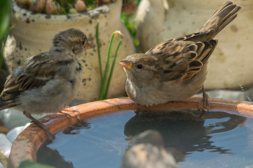 Vogeltränke: erste Konfrontationen - drinking place: First confrontation! Durst Sperlinge Spiegelungen Platzansprüche Klären Vogeltränke Heißer Tag Beginnender Streit Sparrows Drinking Place Song Birds First Confrontations EyeEm Selects Bird Water Reflection Close-up