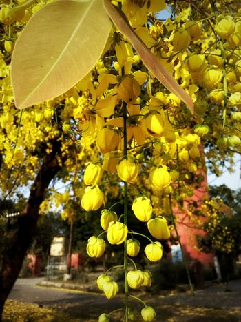 Yellow Growth Leaf Tree Day Nature No People Outdoors Freshness Close-up Beauty In Nature Summer Time  Nature Tree Flower Beauty Yellow Flowers Paint The Town Yellow