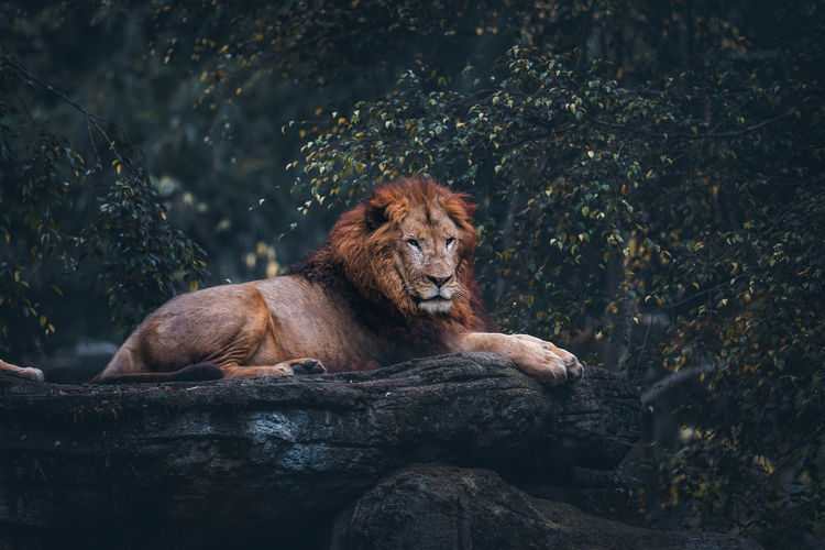 Lion relaxing on rock