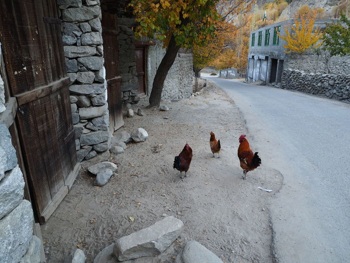 Streetphotography Yellow Leafs Fall Lifestyles Hens Wall Animal Themes Road Autumn Rural Lifestyle
