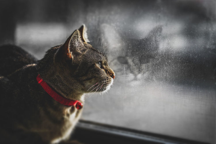 Cat looking out window and reflection looking back. Animal Animal Head  Animal Themes Cat Close-up Domestic Domestic Animals Domestic Cat Feline Focus On Foreground Glass - Material Indoors  Looking Looking Away Mammal No People One Animal Pets Profile View Redlection Vertebrate Whisker Window