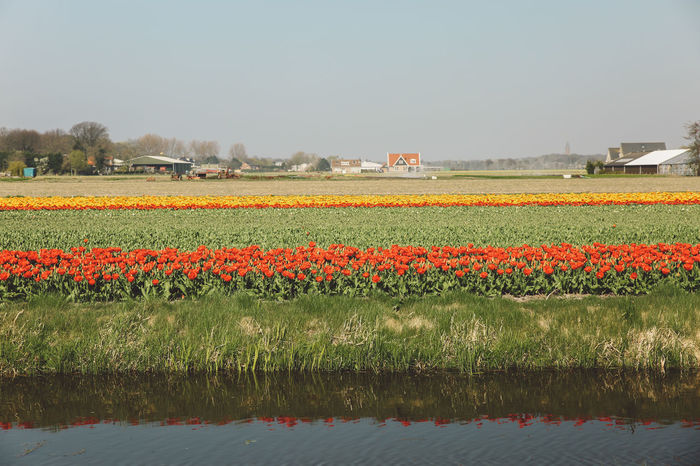Agriculture Beauty In Nature Field Field Fields Flower Flowerbed Flowers Freshness Growth Landscape Nature Netherlands No People Outdoors Plant Poppy Red Rural Scene Scenics Sky Spring Tulip Tulips Water