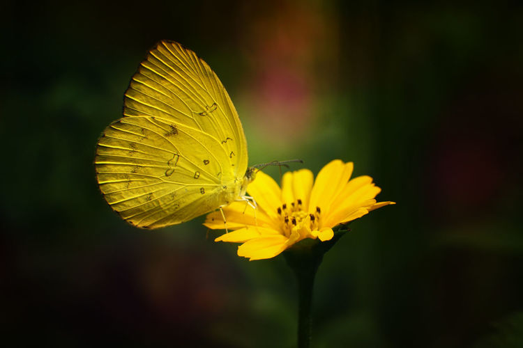 Beauty In Nature Butterfly Butterfly - Insect Close-up Flower Flower Head Flowering Plant Insect Nature Yellow