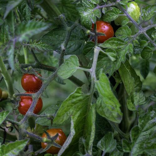 riping tomatoes