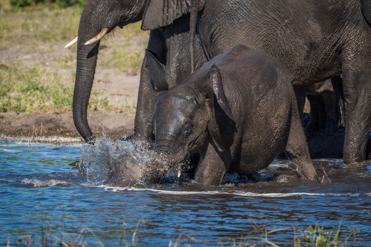 African elephant family at waterhole in forest