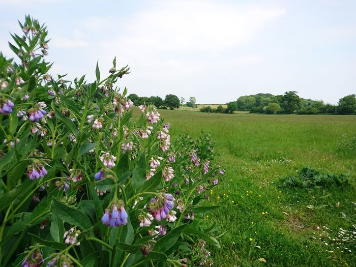 Beauty In Nature Blooming Constable Country Day Essex Field Flatford Mill Flower Flower Head Fragility Freshness Grass Green Color Growth In Bloom Landscape Nature Outdoors Petal Plant Scenics Sky Suffolk, United Kingdom Tranquil Scene Tranquility