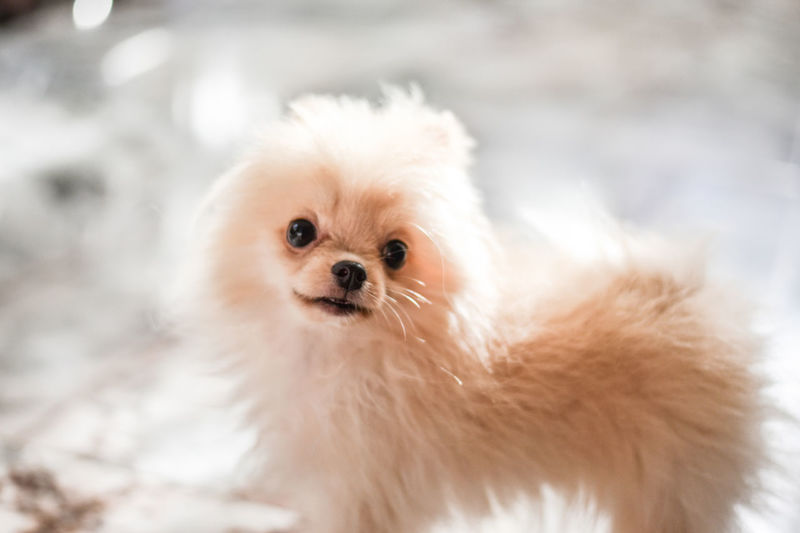Light brown Pomeranian puppy looking to camera in marble floor room in bokeh background Dog Domestic Canine Pets One Animal Mammal Domestic Animals Animal Themes Animal Small Cute Portrait Young Animal Lap Dog Puppy Pomeranian Looking At Camera Focus On Foreground No People Animal Hair Softness Chihuahua - Dog Innocence Marble Flooring Adorable Pomeranian Brown Fuffy Looking At Camera Standing Bokeh