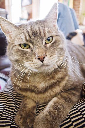 Frank. Cat Pets