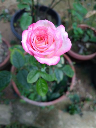 Rose flowers Pink Color Beauty In Nature No People NTB Lombok Island Rumahalir DELTA API