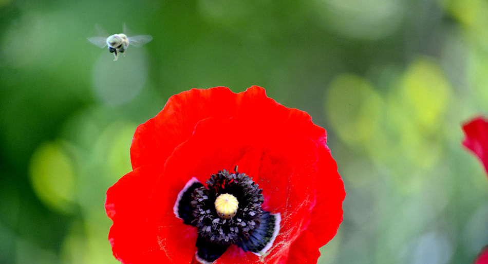 bee on a poppy flower Flowering Plant Plant Flower Close-up Beauty In Nature Fragility Vulnerability  Petal Freshness Flower Head No People Bee Poppy Poppy Flowers Pollen Pollen On Flowers Honey Bee APIculture Agriculture Honey Bees And Flowers Flying Pistil Stamen