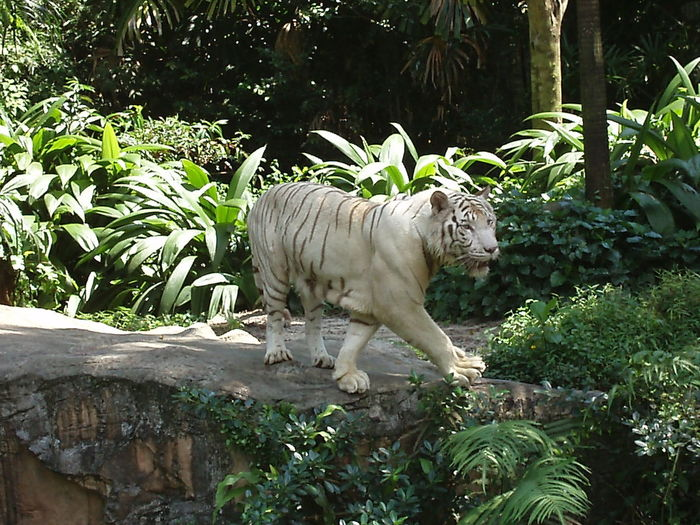 Animals White