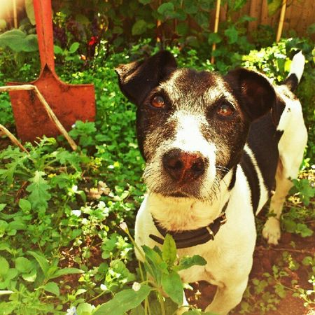 I haven't been digging in the potatoes, honest! Jackrusselterrier Jackrussell Jr Jrt dog doggy cute summer garden