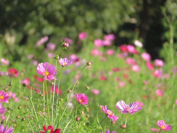 Flower Cosmos Flower 花 Cosmos コスモス 秋桜 秋の花 Cosmos Flower