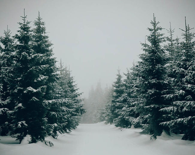 Beauty In Nature Branch Christmas Tree Cold Temperature Coniferous Tree Day Evergreen Tree Fog Forest Frost Frozen Landscape Nature No People Outdoors Scenics Snow Snowing Tree Winter