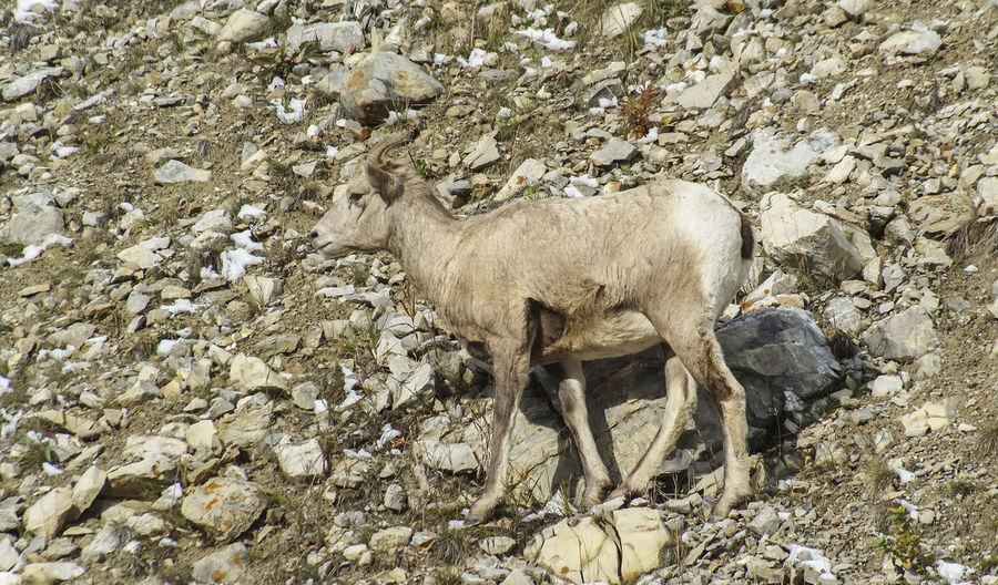 Bighorn sheep Canada Alberta Wildlife & Nature Wildlife Nature Wildlife Photography Bighorn Sheep Sheep Mountain