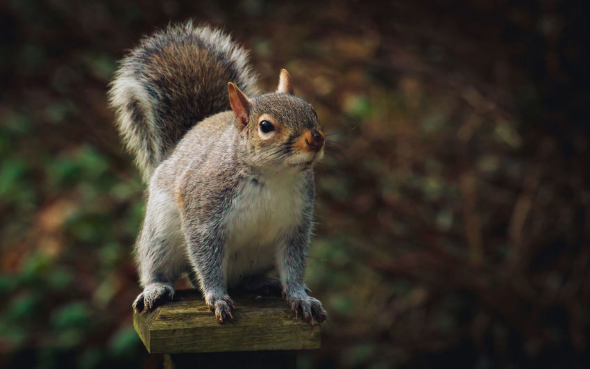 Close-up of squirrel.  standing on fence post.  great detail.