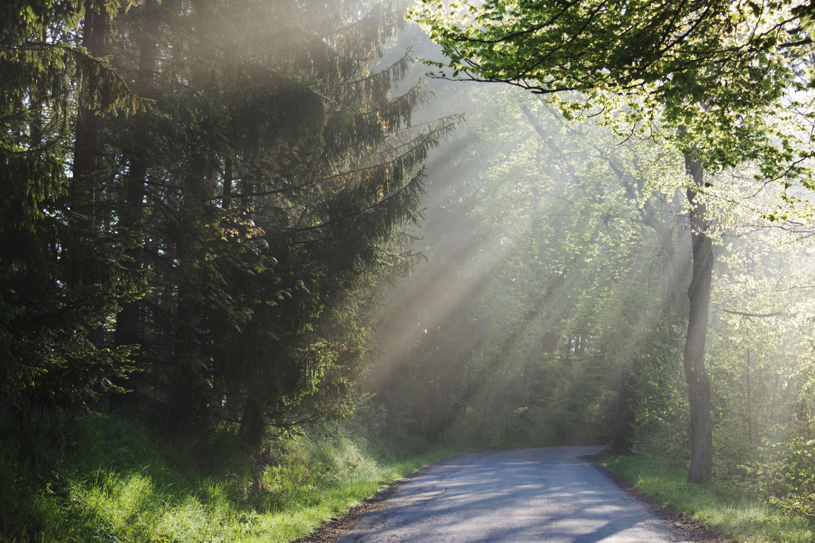 tree, nature, tranquility, day, the way forward, tranquil scene, tree trunk, no people, scenics, forest, growth, outdoors, sunlight, beauty in nature, landscape, road, plant, branch, grass