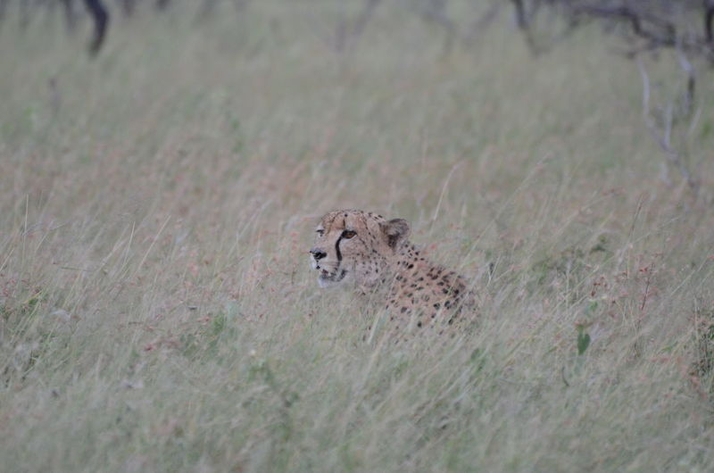 View of a leopard looking away