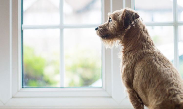 Waiting One Animal Pets Domestic Animals Animal Themes Dog Window Mammal Looking Through Window Indoors  Day No People Close-up Mixed Breed Jack Russell Border Terrier Cute Pets Pets Corner Dogs Of EyeEm Pet Photography  Portrait Waiting Looking Out Looking Out Of The Window