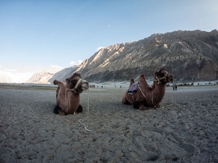 Bactrian camels sitting on sand against mountain