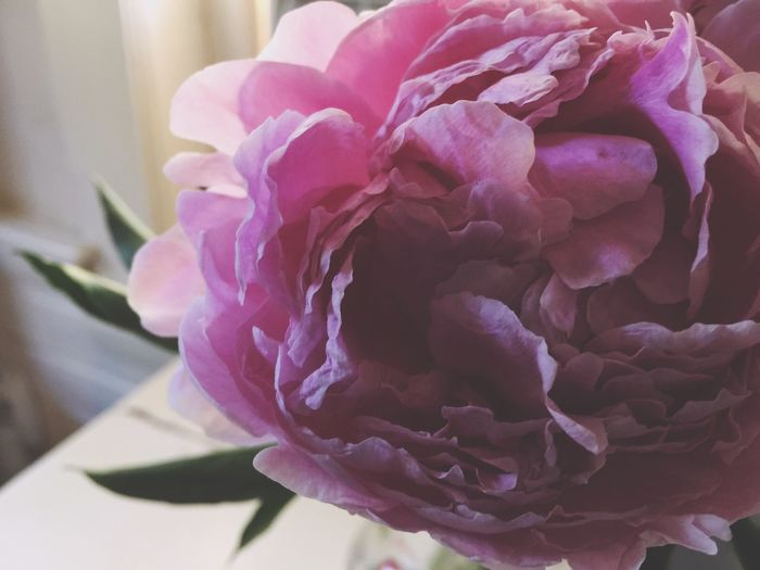 Flower Petal Fragility Beauty In Nature Flower Head Nature Freshness Close-up Growth Blooming Plant Indoors  No People Peony