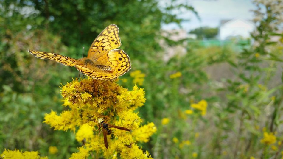 Insect One Animal Animal Themes Yellow Animals In The Wild Wildlife Butterfly Flower Butterfly - Insect Nature Focus On Foreground Growth Close-up Fragility Beauty In Nature Plant Pollination Day Freshness Perching Maryland USA Goldenrod Two Insects The EyeEm Collection The Premium Collection