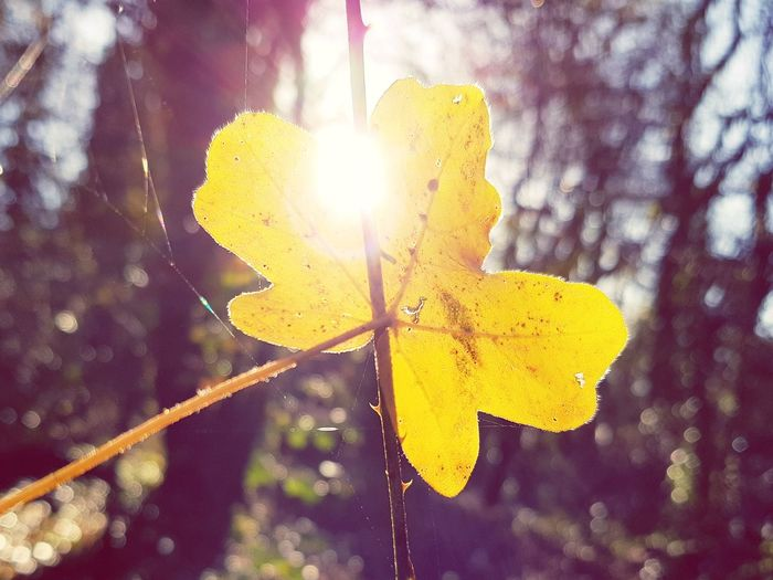 Sun Nature Outdoors Yellow Sunlight Day Focus On Foreground Leaf No People Plant Close-up Beauty In Nature Freshness Nature S8Photography S8plus S8+ S8 Collection Smartphone Photography Smartphonephotography