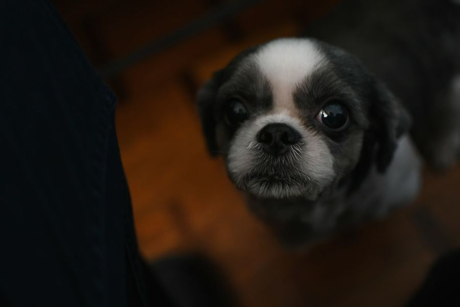 Pet Portraits Pets Dog One Animal Domestic Animals Animal Animal Themes Portrait Puppy Looking At Camera Mammal Cute Young Animal No People Indoors  Close-up Boston Terrier Black Background Day