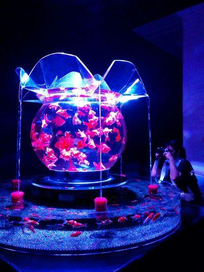 Art Aquarium2015 Kingyo