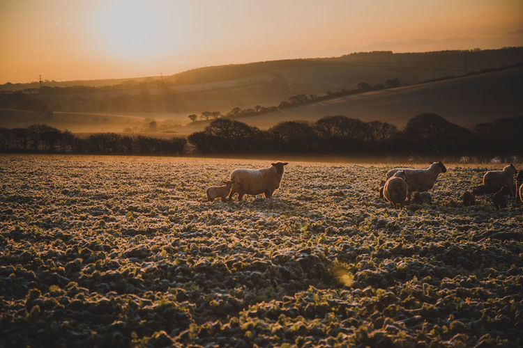 Mammal Animal Sky Sunset Animal Themes Domestic Landscape Pets Land Environment Domestic Animals Field Nature Livestock Vertebrate Scenics - Nature Beauty In Nature Group Of Animals Tranquil Scene No People Outdoors Herbivorous